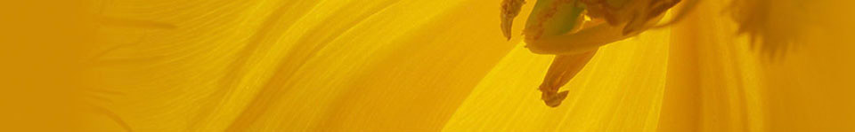 Elegia_Header_Yellow_sup